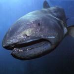 メガマウスってどんな魚?地震の前兆って本当?深海魚に何が起こっているの?